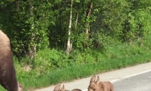 Mama Moose and Twins Make Their Way Down Road