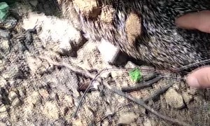 Hedgehog Rescued from the Mud and the Muck
