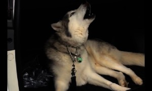 Stubborn Husky throws tantrum when its time to leave car