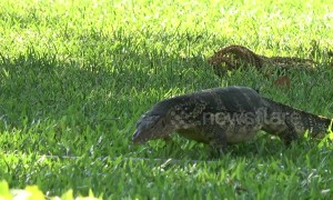 Monitor lizards attract tourists to Bangkok park
