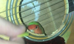 Lovebird Enjoys Guitar Playing from the Inside