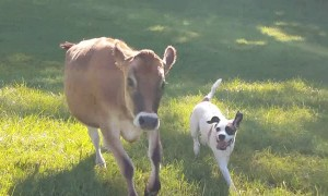 Rescued cow and dog become instant best friends