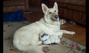 Tiny baby goat adorably cuddles with much larger dog