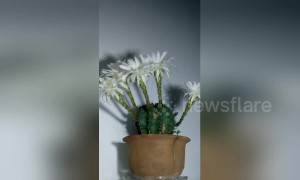 Impressive time-lapse captures cactus flowers blooming over 96 hours