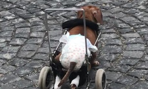 Happy Dog on Wheels Wanders Down Sidewalk