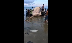 Vietnamese fishermen drag giant whale carcass inland for burial