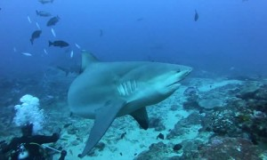 Divers Feed Sharks Without a Cage