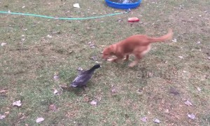 Dog vs duck: a friendly fight in Minnesota backyard