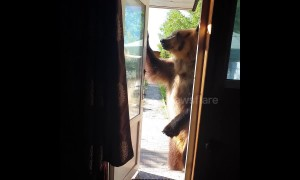 Knock knock! Hungry tame bear wants snack and walkies from owner