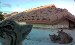'Curious' bobcat kittens inspect camera on Arizona roof