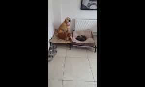 'Don't let her bully you!' Labrador attempts to reclaim her bed from stubborn cat
