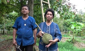 Thai farm where durian fruits sell for up to £25,000 each celebrates this year's harvest