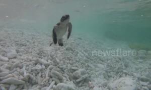 Endangered baby green sea turtle enters the ocean off Australia