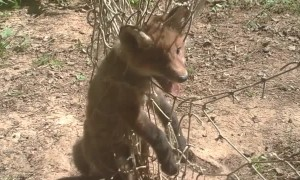 Fettered Fox Found in Forest and Freed by Friendly Folks
