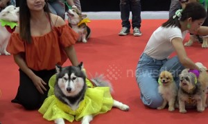 Colourful scenes from dog fashion show in Bangkok