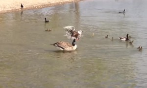 Mother duck bravely protects her chicks from attacking goose