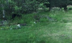 Bear Challenges Mother Moose in Front Yard