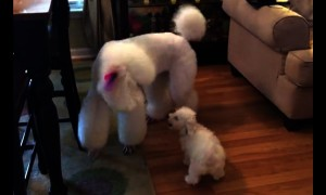 New family puppy isn't intimidated by giant poodle