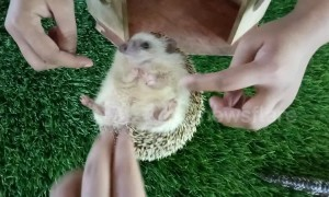 This mini hedgehog loves being tickled