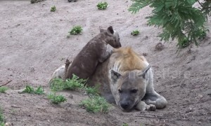 Hyena cub determined to play with unamused mother at South Africa park