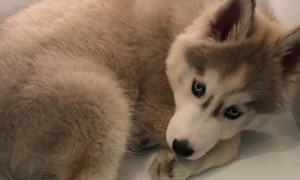 Husky puppy cools down inside refrigerator shelf