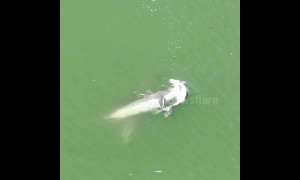 Grieving mother dolphin refuses to leave her dead calf behind