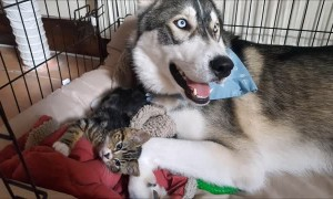 Husky amazingly finds companionship in tiny kitten