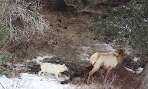Wolves Hunt an Elk in Yellowstone