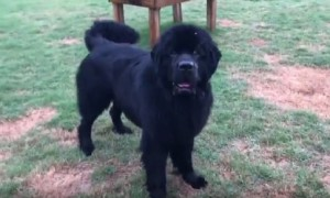 Huge Newfoundland puppy hilariously refuses to come inside