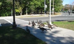 Clever geese in Boston use crosswalk to get across road