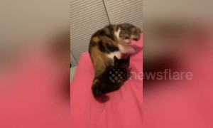 Furious feline beats down innocent kitten after thinking it grabbed its tail