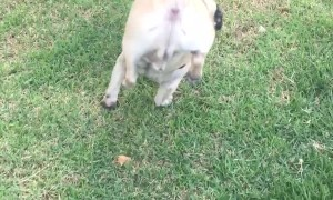 Pug Chooses a Peculiar Position