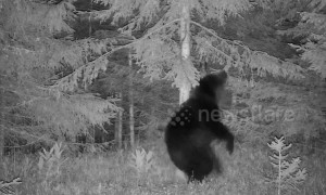 Romanian wild bear shows off dance moves like there is no tomorrow