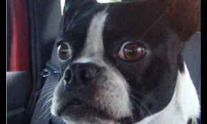 Boston Terrier manages to impersonate a goat and dolphin