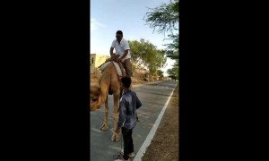 Hump day fails: man in India can't control camel, topples over