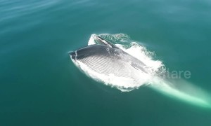 Rare footage of fin whale feeding on krill off southern California