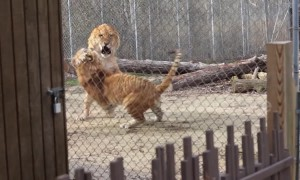 Liger vs tigon: a terrifying clash of the massive, mythical hybrids of lions and tigers