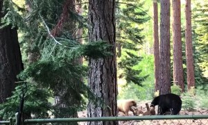 Brown and Black Bears at Play