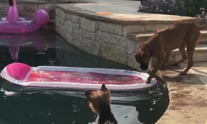 Yorkie and Boxer Use Pool Toy to Get Ball Back