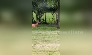 Oh deer: baby deer hilariously fails to hop fence in Ohio backyard