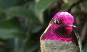 Hummingbird amazingly shows off bright color change illusion