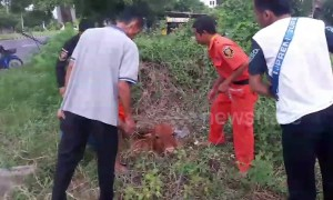 Locals rescue calf who fell into hole while eating grass in Thailand