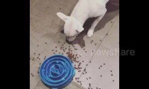 Puppy gets frustrated at training bowl and spills food everywhere in US home