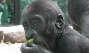 Time to get in shape! Adorable baby gorilla happily munches on leaf at zoo in the Netherlands