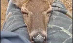 Wild deer adorably naps on this strange's lap