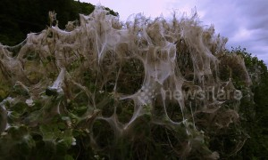 Spooky cobwebs blanket hedges in 'not-so-cozy' English countryside