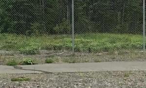 Nimble Bear Climbs a Fence