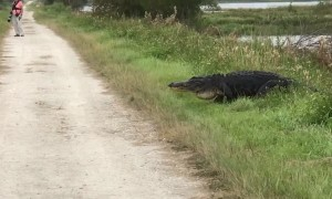 Trail hiker has up-close encounter with massive alligator