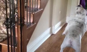 English Bulldog Bounces Balloon Through House