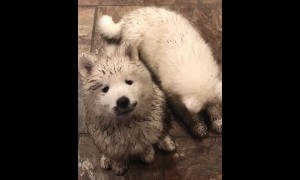 Dirty Samoyed puppies plays in the mud